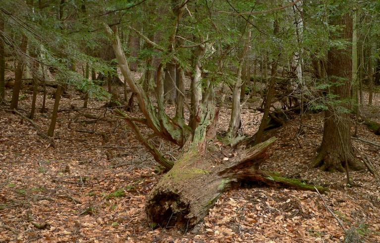 Fallen Tree on Longfellow Trail