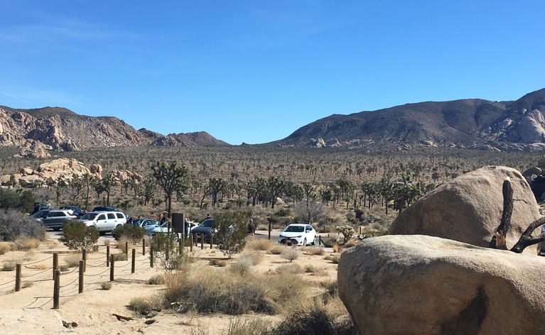 A Joshua Tree Forest!