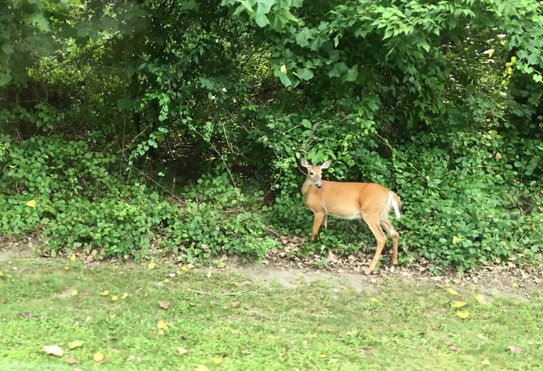 Deer at Schodack Island