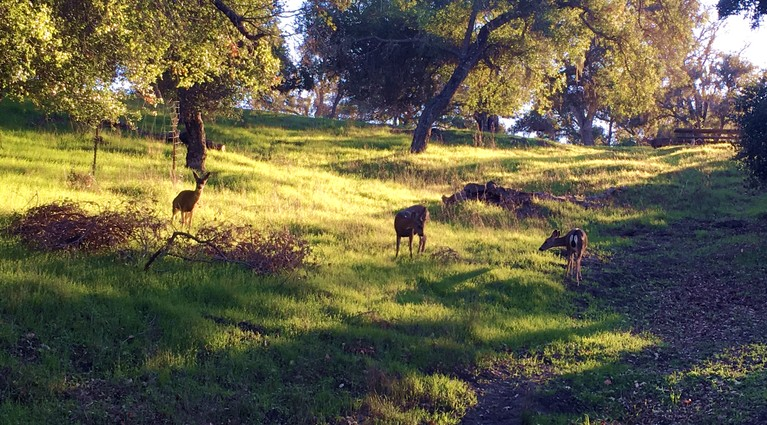 Deer On the Hill Above Grizzly Drive