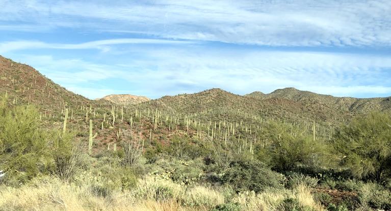 A Saguaro Forest