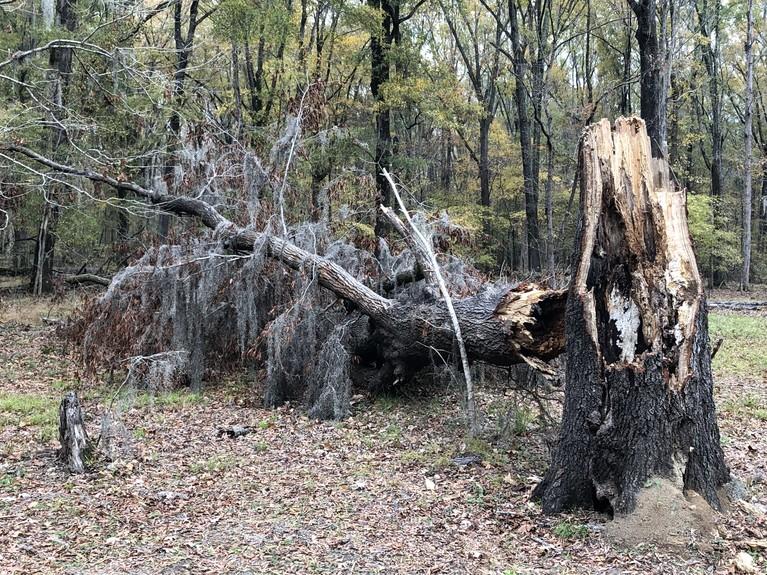 Big Live Oak Probably Lost to Fall Hurricane