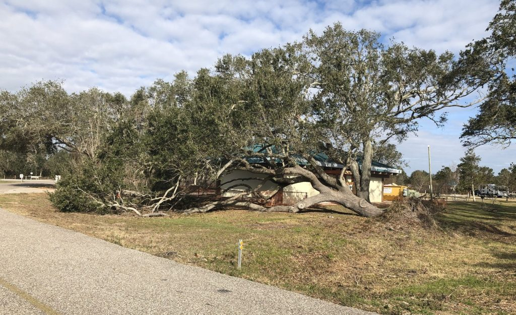 One of Many Downed Live Oaks