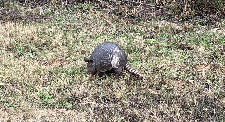 Armadillo on the Gopher Tortoise Trail