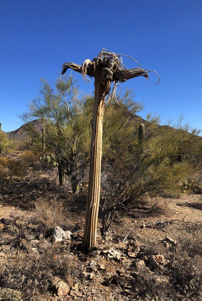One Slightly Used Saguaro