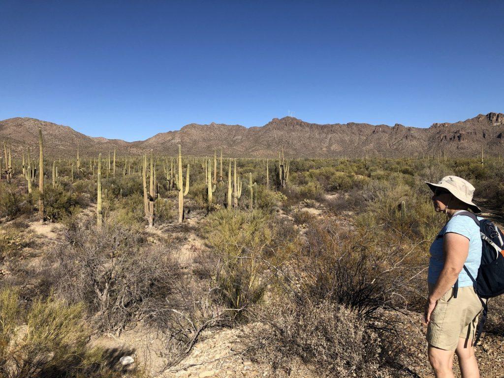 Lots and Lots of Saguaros